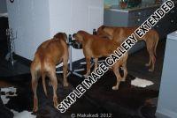 20111104_Makakadi_Alle drei beim Essen_welcher ist der Boxer